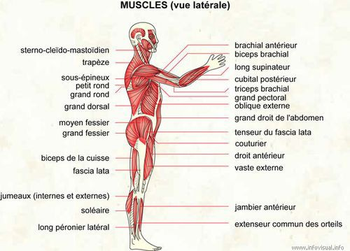 Muscles vue laterale