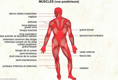 Muscles vue posterieure